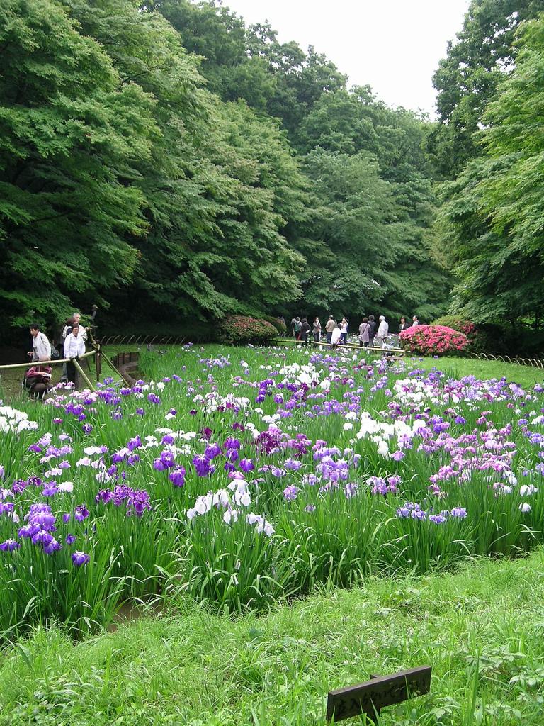 murasaki fleurs violette